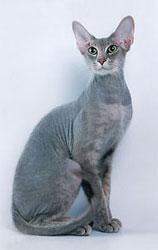 Peterbald_male_Shango_by_Irina_Polunina