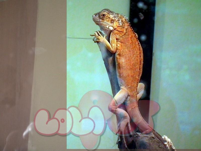 Red_mutation_of_Green_Iguana_at_Mysore_Zoo
