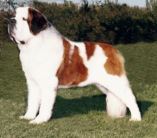 Saint-Bernard-Dog-Breed-Pictures
