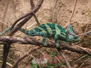 Veiled_chameleon,_Boston