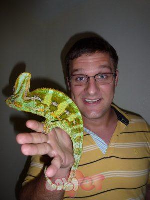 Wild-Veiled-Chameleons-in-South-Florida