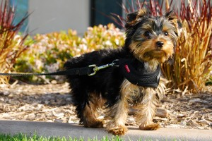 Winston,_a_Yorkshire_Terrier_puppy