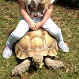 adult-male-sulcata-tortoise-for-sale-51c08a132adbc