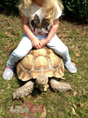 adult-male-sulcata-tortoise-for-sale-51c08a132adbc