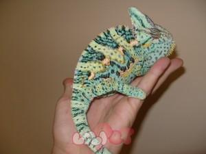 adult_veiled_chameleons_129.99__63129.1354245255.1280.1280