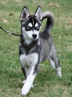 akk-female-makinzey-pup