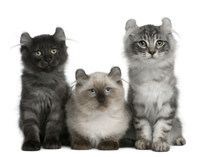 american-curl-cats-and-kittens-1