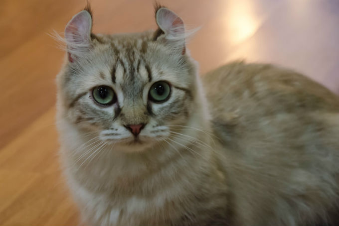 american-curl-cats-and-kittens-3