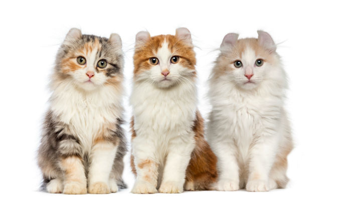 american-curl-cats-and-kittens-8