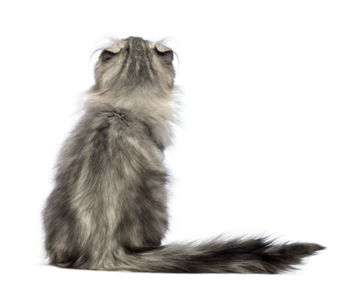 american-curl-cats-and-kittens-9
