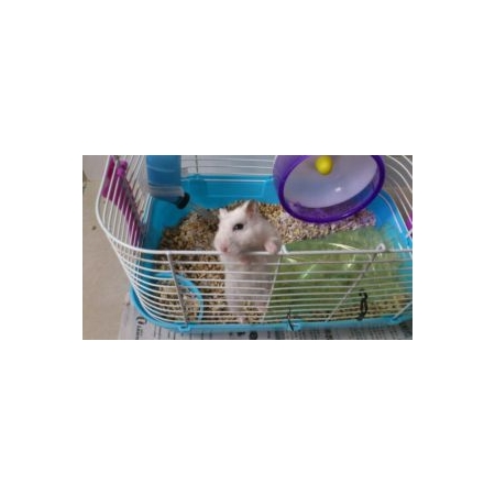 cửa hàng bán hamster rẻ tại hn - lolipet.net