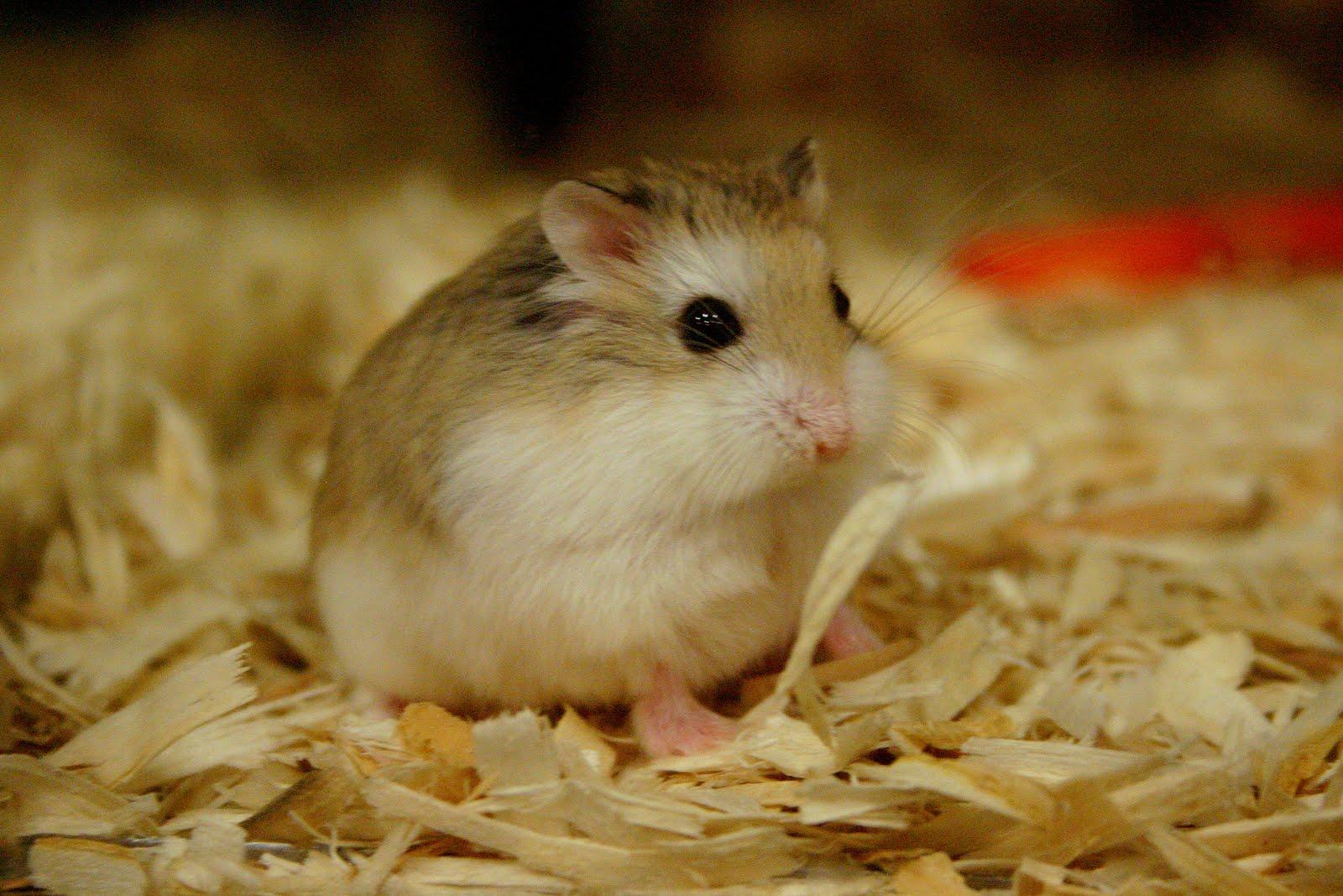 lolipet nơi bán hamster rẻ nhất tại hà nội