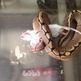 baby-female-spider-morph-royal-ball-python-525d720ed2c6d