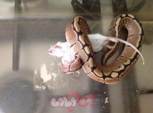 baby-female-spider-morph-royal-ball-python-525d720ed2c6d