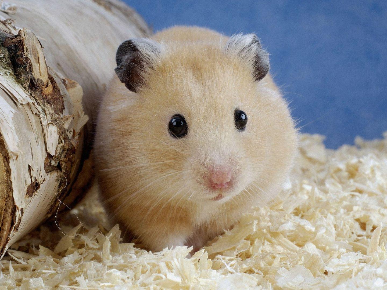 lolipet là địa chỉ bán hamster ở hà nội giá rẻ nhất