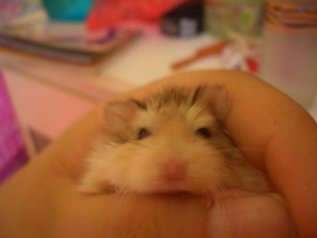 cửa hàng bán hamster giá rẻ tại hà nội - lolipet.net