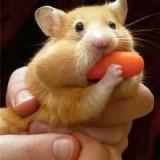 ban hamster hn