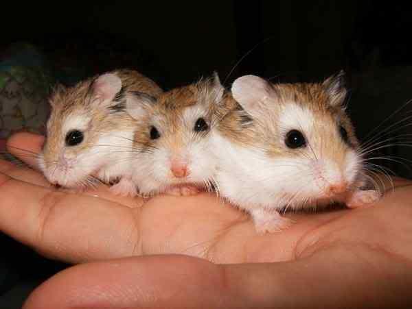 lolipet bán hamster rẻ đẹp tại hà nội , hn