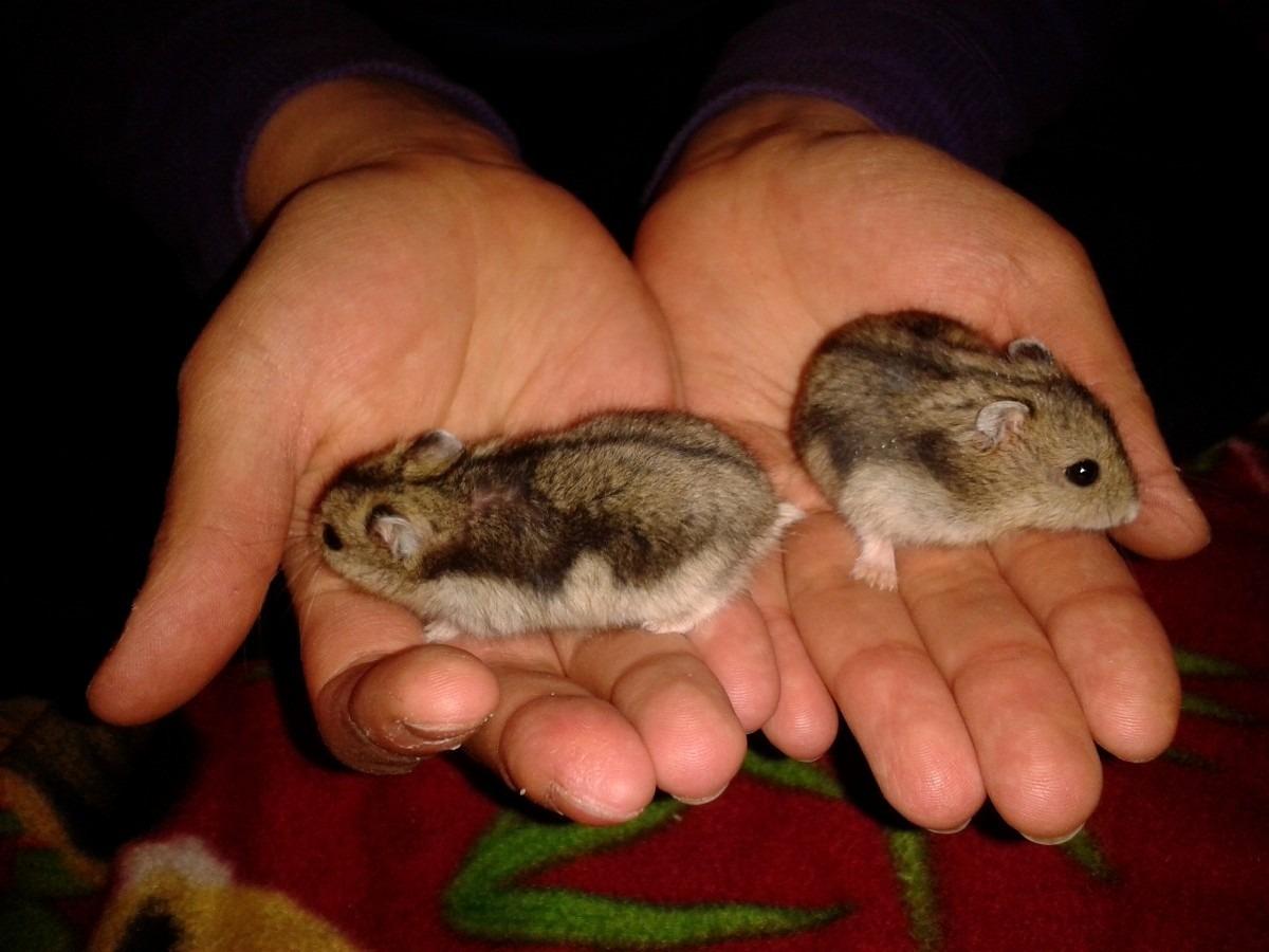 cửa hàng lolipet chuyên ban hamster o hn với giá rẻ nhất