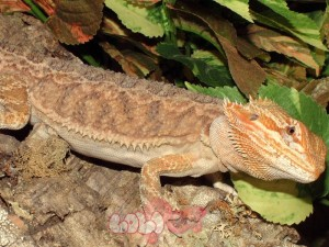 bearded_dragon_17