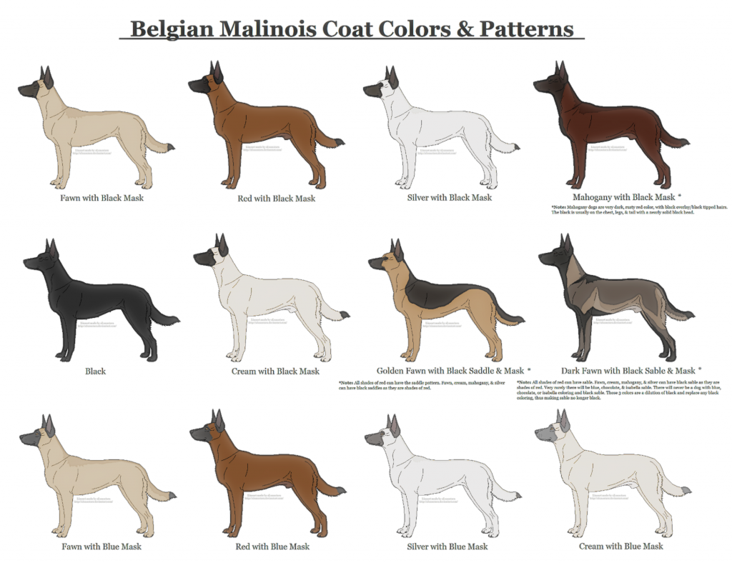 belgian_malinois_coat_colors_and_patterns_by_xlunastarx-da4ind3