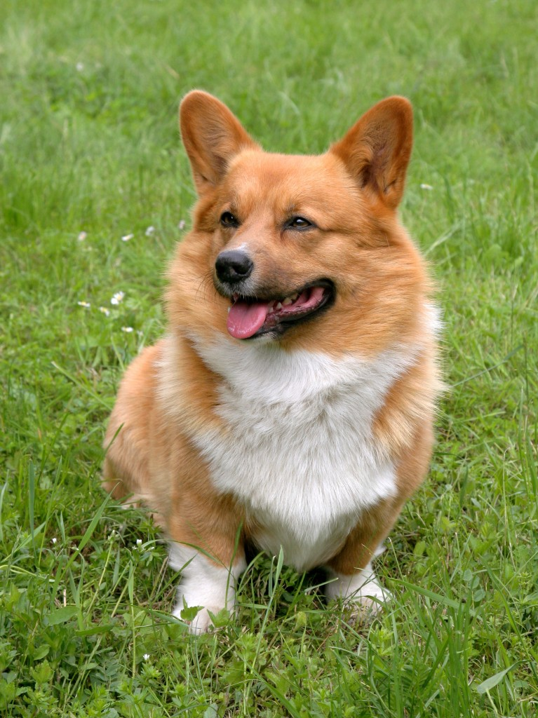 bigstock-Welsh-Corgi-Cardigan-Dog-44539063-767x1024