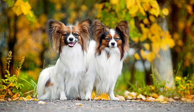 bigstock-two-Papillon-dogs-in-autumn-37261549