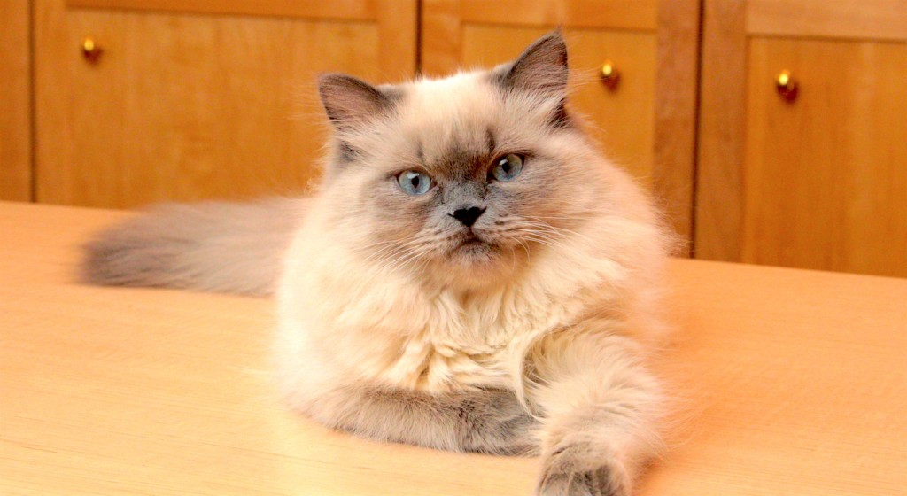 bluepoint-himalayan-cat