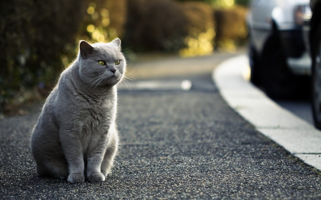 british-shorthair-cat