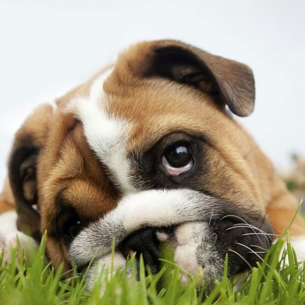 bulldog-on-grass