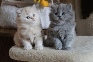 cach-nuôi-mèo-anh-lông-dài-mèo-anh-lông-ngắn-3