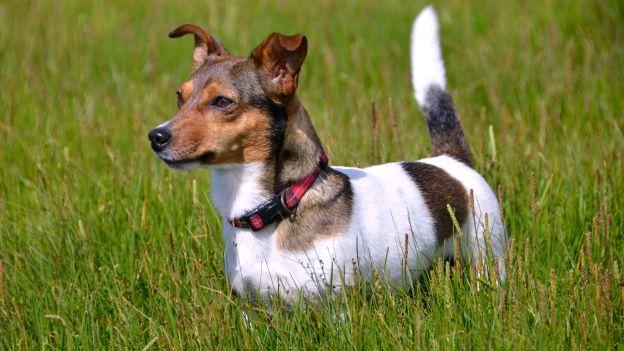 cane-di-razza-Jack-russell-come-scegliere