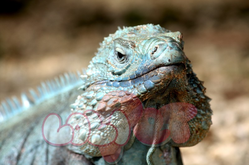 cayman-islands-blue-iguana-another-jowls-view-queen-elizabeth-ii-garden