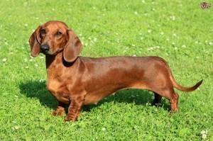 chó-lạp-xưởng-dachshund-tacken-1