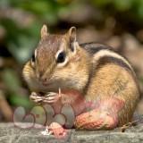 chipmunk-