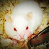 chuột-hamster-abino-2