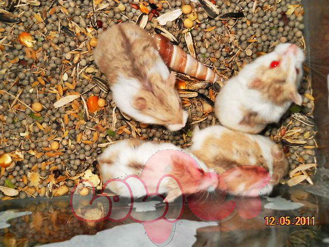 chuột-hamster-bò-sữa-vàng-2