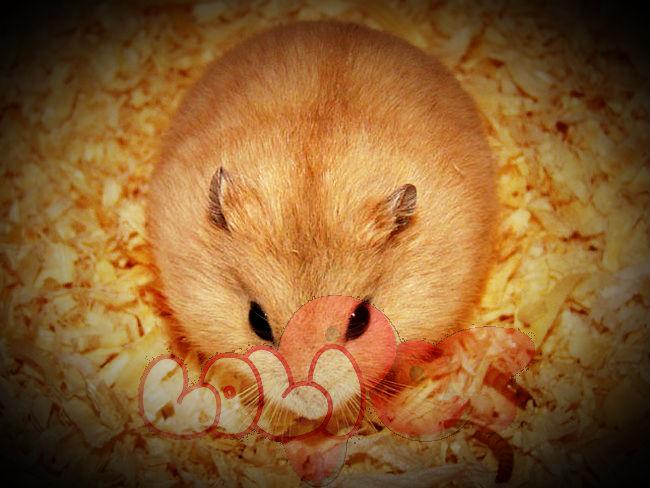 chuột hamster bông lan