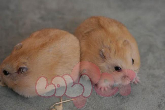 chuột hamster bông lan1