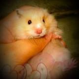 chuột hamster bear (2)