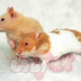 chuột hamster bear (2)11
