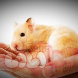 chuột hamster bear (3)