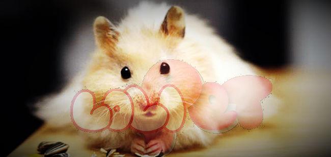 chuột hamster bear
