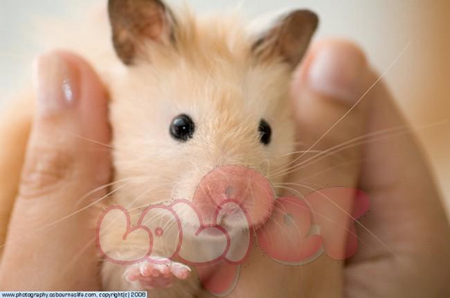 chuột hamster bear1