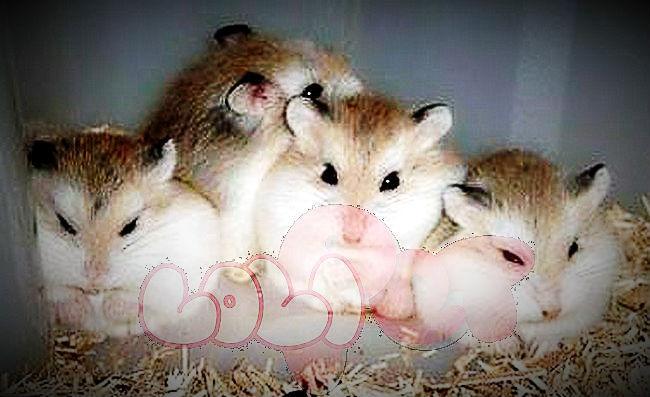 chuột-hamster-robo-mặt-nâu-2