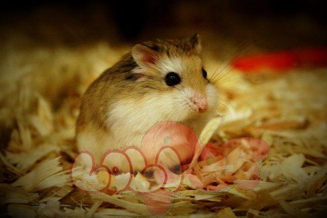 chuột-hamster-robo-mặt-nâu-3