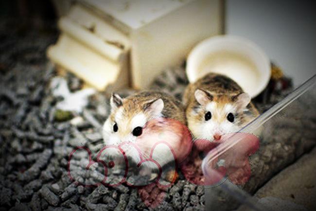 chuột-hamster-robo-mặt-nâu
