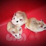 chuột-hamster-robo-mặt-trắng-2_webcamera360_20140702175529