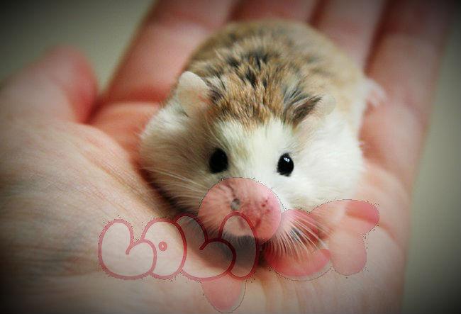 chuột-hamster-robo-mặt-trắng_webcamera360_20140702175502