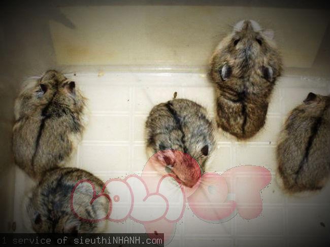 chuột hamster sóc campell